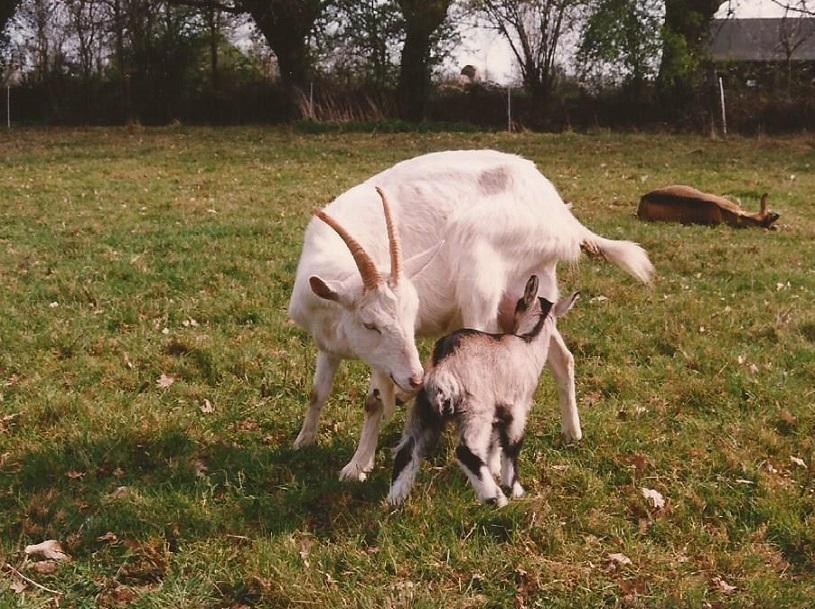 pierre chèvre