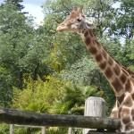 Girafe Zoo la fleche